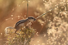 White-tailed antelope squirrel (Ammospermophilus leucurus) - Explored :) (BJSmit) Tags: california sunset usa america canon mammal photography rodent us nationalpark interestingness squirrel desert bokeh bart joshuatree july sigma 300mm explore chipmunk 7d g1 vs dslr amerika frontpage groundsquirrel sigma100300mm naturephotography joshuatreenationalpark woestijn barkerdam eekhoorn sigma300mm sciuridae 2011 100300mm whitetailedantelopesquirrel antelopesquirrel zoogdier supershot explored sigma100300f4 sigma100300mmf4 specanimal ammospermophilusleucurus ammospermophilus 100300mmf4apodgex grondeekhoorn 100300f4 sigmaex100300mmf4 ex100300f4 eos7d sciuromorpha fiveprime canon7d sigma100300mmf4dg smitbj sigma100300mmf4apodgex 2011explore