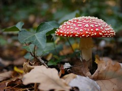 "The poisonous Amanita muscaria (Fly Agaric) mushroom • <a style=""font-size:0.8em;"" href=""http://www.flickr.com/photos/44919156@N00/6009880031/"" target=""_blank"">View on Flickr</a>"