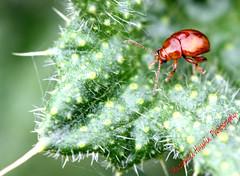 Rosemary Leaf Beetle (Muzammil (Moz)) Tags: macro insect moz rosemaryleafbeetle muzammilhussain