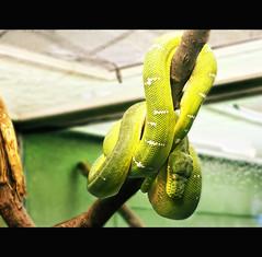 Emerald Tree Boa (Calvin J.) Tags: toronto ontario canada macro tree zoo nikon reptile snake boa pavilion nik nikkor australasia 105mmf28 emeral colorefexpro d700