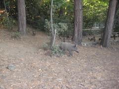 IMG_2445 (Egemen Akbudak) Tags: karasu millipark domuz güzelçamlı