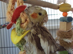 cockatiel after shower III (bondedwithtiels) Tags: pets weblog cockatiel cockatiels wetbird tiels cockatielcare