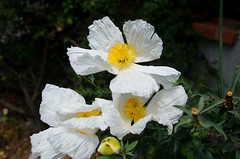 Matilija Poppy Photo