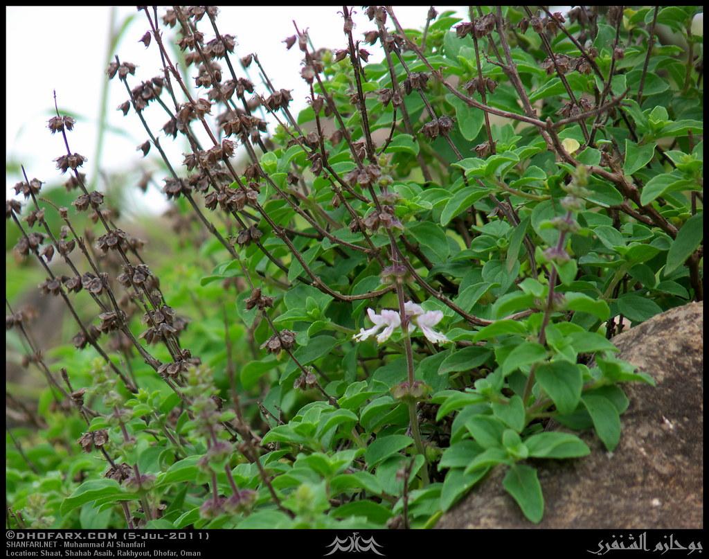 ساجر ظفار، بتاريخ 5-7-2011 5908048743_6a39344a9