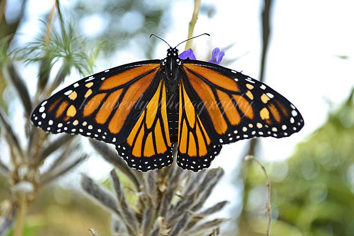 Monarch butterfly #2