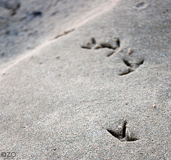 Footsteps OF a Bird ... (AZO Monifi) Tags: sea bird feet beach animal foot three sand fingers planet footsteps dammam