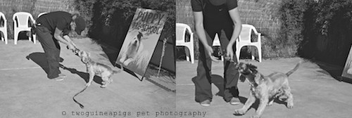 Amy Puppy Pre-school, twoguineapigs pet photography at Dogue's Winter Sale 2011 in Manly