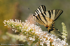 Madama Butterfly (Marco Pasquino) Tags: travel flowers light sunset summer italy holiday flower color macro nature closeup canon butterfly photography photo spring italia farfalla wow1 farfalle wonderfulworldofmacro mygearandme ringexcellence artistoftheyearlevel3 galleryoffantasticshots