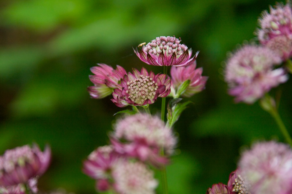 astrantia abbey road  379