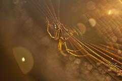 on the spectrum (c'lamson) Tags: blur closeup canon golden spider dof bokeh web spiderweb beautifullight goldenhour goldenlight wow1 wow2 dramaticlight beautifulbokeh lightspectrum dramaticbokeh