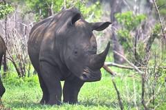 White Rhino (Arno Meintjes Wildlife) Tags: africa wallpaper nature southafrica mammal bush wildlife safari rhino highfive prey mammals rhinoceros rsa krugernationalpark predators big5 specanimal animalkingdomelite arnomeintjes invitedphotosonly flickrunitedaward