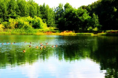 Pond Duck Scenery