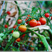 192/365: Tomatoes