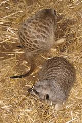 IMG_2638 (pl fas) Tags: africa philadelphia zoo meerkat southern allrightsreserved bbi suricatasuricatta suricatta suricata copyright 6666baseball66 bbi copyrightbbi