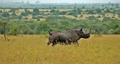 Ol Pejeta Conservancy Kenya Africa Black Rhino (The Travel Chronicle) Tags: africa black ol kenya nairobi safari rhino wildlifesafari conservancy amboseli masaimara travelphotography safaris aberdare nanyuki pejeta olpejeta kenyatravel