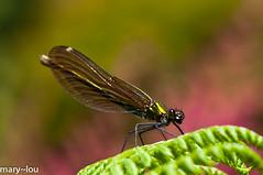 _DSC4149 (mary~lou) Tags: macro insect fletcher nikon dof mary damselfly gamewinner 15challengeswinner d7000 mary~lou pregamewinner