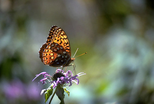 Photo - Fritillary Butterfly