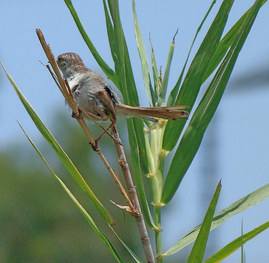 16-07-2011-graceful-prinia3)