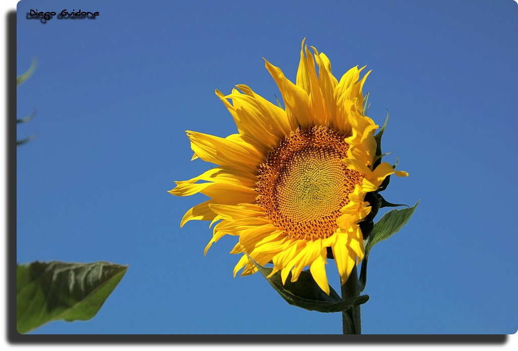 The Worlds Best Photos Of Girasole And Sfondi Flickr Hive Mind