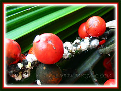 Mealy bugs feasting on matured fruits of Licuala grandis (Vanuatu Fan Palm, Ruffled Fan Palm, Palas Payung)