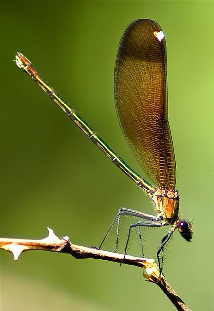 Andalucian Mayfly
