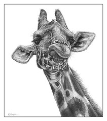 'The High Life' - Giraffe - Fine Art Pencil Drawings-www.drawntonature.co.uk (kjhayler) Tags: pictures wild portrait blackandwhite funnyface art nature monochrome face animal animals pencil portraits print sketch photo artwork eyes artist arty eyelashes image head drawing african contemporary wildlife picture illustrations drawings images naturalhistory portraiture giraffes giraffe sketches girafe animalart headandshoulders girrafe girafes pencilwork pencildrawings wildlifeimages aristocratic animalpictures wildlifeart africanwildlife africananimals wildlifephotography wildlifephotos animalphotos giraffehead giraffeart giraffs girrafes headandneck wildlifeportraits wildlifepictures giraffeface giraffeportrait wildlifedrawings kevinhayler africanwildlifeart giraffephoto giraffephotos giraffepictures giraffepicture giraffespictures giraffeeyes headofgiraffe faceofgiraffe giraffefaces portraitofgiraffe giraffephotographs