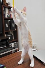 standing cat kitten