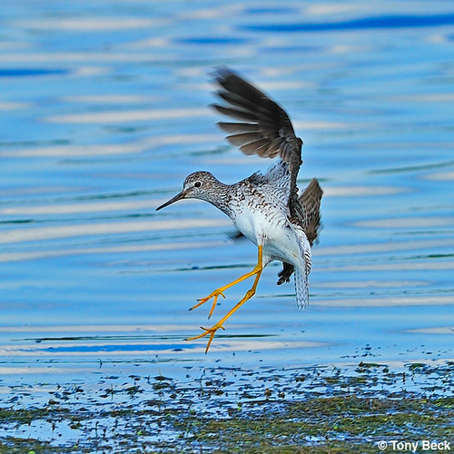 LesserYellowlegs001