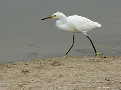 Snowy Egret 32 (Hart Walter) Tags: gulls egrets sanderling avocet americancoot leasttern blackskimmers turnstones whimbrels birdsofmalibulagoon summerbirdsofcalifornia shorebirdsofthepacificcoast malibubirds