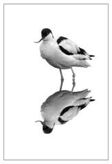 Avocet-A4_2973 (Peter Warne-Epping Forest) Tags: reflection birds canon blackwhite wildlife avian avocet recurvirostraavosetta avies peregrino27life