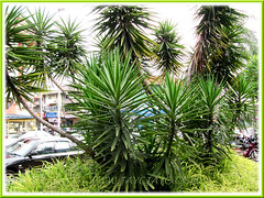 Yucca aloifolia (Spanish Bayonet, Aloe Yucca), an excellent shrub for landscaping, seen outside a shopping mall in KL