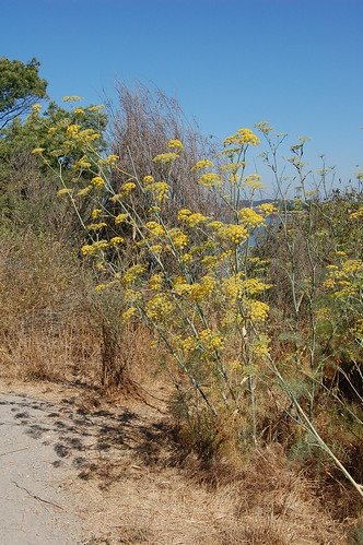 Wild fennel growing at the Albany Bulb by Eve Fox, copyright  2008