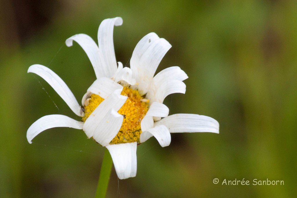 Ox-eye Daisy (Leucanthemum vulgare)-4.jpg