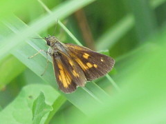 Broad-Winged Skipper (male) (A. Y. Jackson) Tags: broadwingedskipper