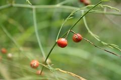 Wild Asparagus Plant Wild Asparagus Drowsy Mary