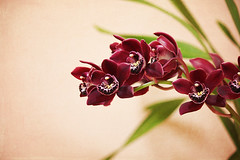Mel's Orchid