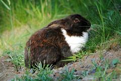 DSC_0038 (M.Bohm Photography) Tags: wild canada rabbit bunny ex nature animal mammal nikon bc wildlife sigma columbia os british lapin 80400mm 400mm 80400 d3000