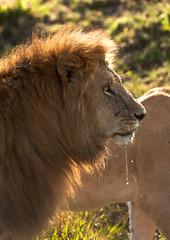 Lion Dribbling_X0931 (Ken McChesney) Tags: africa animals kenya wildlife lion july safari mara masai masaimara 2011