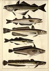 Anglų lietuvių žodynas. Žodis coalfish reiškia n zool. polakas; juodžuvė lietuviškai.