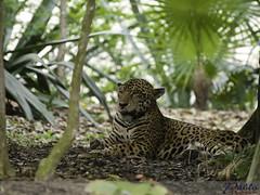 El descanso de la fiera (Osomoso - ) Tags: mexico leopardo maya selva olympus felino xcaret mx zuiko caribe quintanaroo olympuse3 50200mmswd