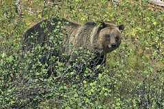 Grizzly Bear     _IMG_0774a (DennisKirkland) Tags: bear wild nature animal mammal outdoors oso wildlife brush wyoming grizzly grandtetonnationalpark jacksonlake
