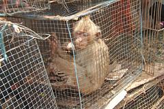 Pasar Burung - Malang (Java - Indonesia) (Meteorry) Tags: indonesia monkey mono march java asia market cage ape apa malang march jawa kota aap pasar singe monyet burung birdmarket 2011 eastjava apekatt meteorry jawatimur pasarburung