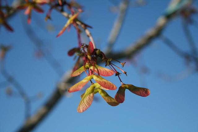 New Maple Tree 2010