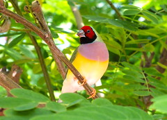 Gouldian Finch by cayobo, on Flickr