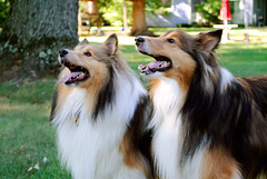 7/12: Fergus & Brother on Vacation (Kerfuffle~) Tags: dogs ollie fergus shelties shetlandsheepdogs 712 twelvemonthsfordogs