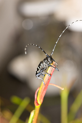 Asian longhorned beetle infestations have been eradicated in Chicago, Illinois and northern New Jersey.  This large, showy beetle appears similar to the white spotted sawyer, a native insect, but is a voracious consumer of many tree species, such as maples (photos are by R. Anson Eaglin, NRCS).