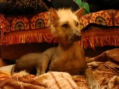 n579855306_4901468_3718 (Noticias4) Tags: dog hairless peruvian
