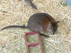 Featherdale '11 (faun070) Tags: australia nsw marsupial featherdale wildlifepark redneckedpademelon