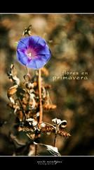 Flores en Primavera (Neils Oscategui) Tags: en flores primavera peru ayacucho neils amorseco oscategui