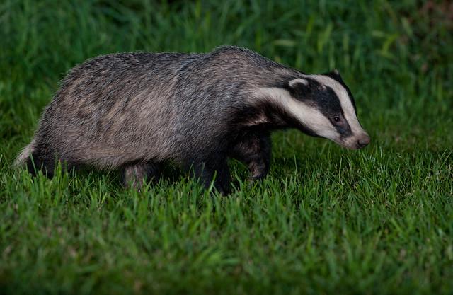 badger 16